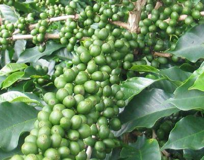 Читайте в статье помогает ли зеленый кофе похудеть на самом деле