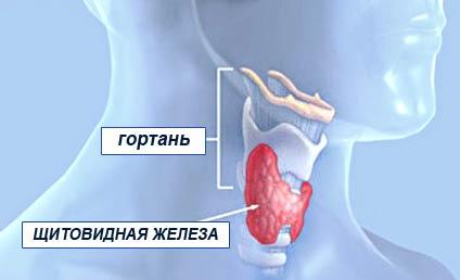 где находится житовидка